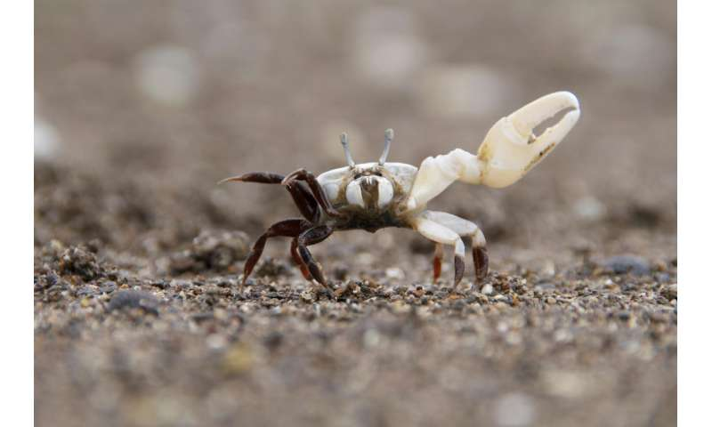 Fiddler crabs' 'Morse code' attracts Mrs. Right