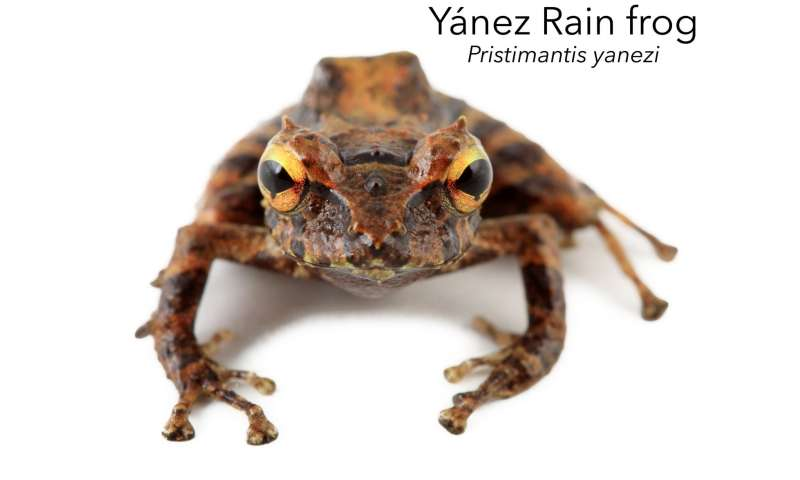 Finding the real treasure of the Incas: Two new frog species from an unexplored region