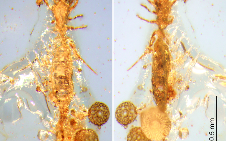 First microwhip scorpion from Mesozoic period found in Burmese amber