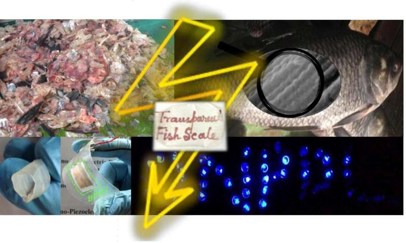 Fish 'biowaste' converted to piezoelectric energy harvesters