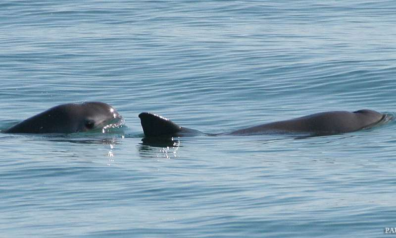 Fishery bycatch rapidly driving Mexico's vaquita to extinction, new studies find