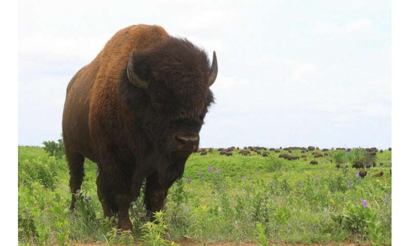Five facts about bison, the new us national mammal