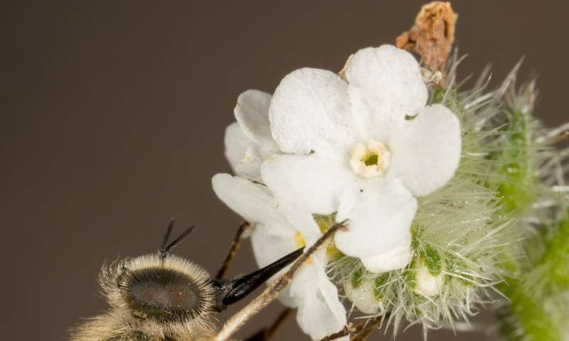 Flying jewels spell death for tarantulas: Study of a North American spider fly genus