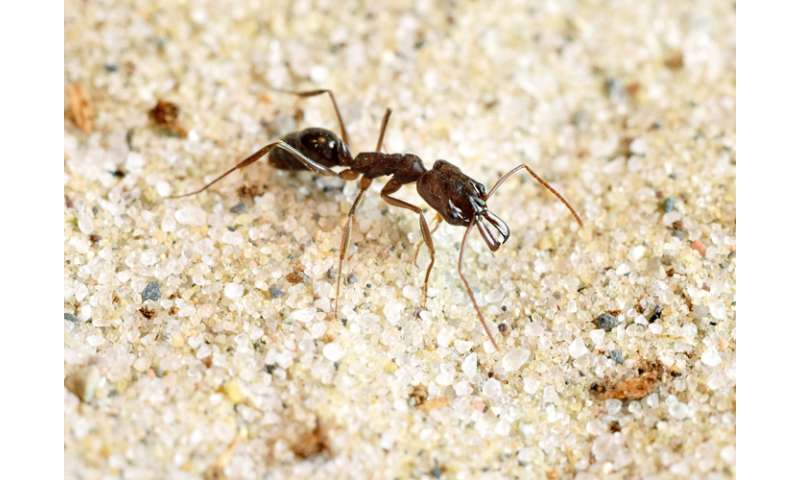 Forget butterflies and bees, box like an ant: Study measures speed of trap-jaw ant boxing