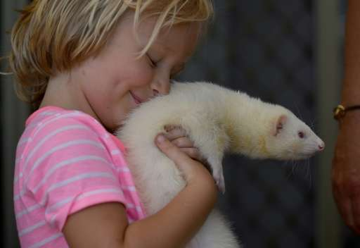 Four year-old Sammi Smith carrying Fideo, a three-year-old male albino ferret