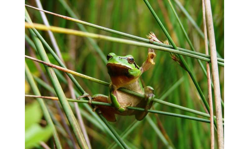 Frog and toad larvae become vegetarian when it is hot