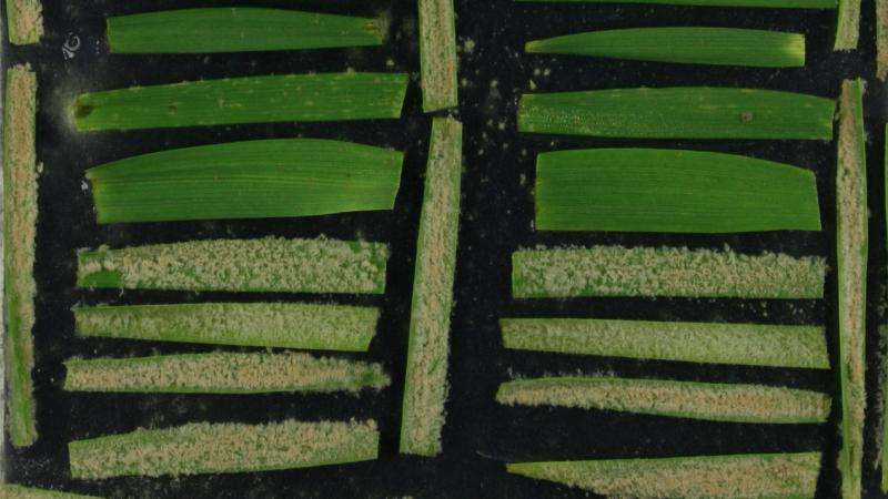 Fungus attacks new type of grain thanks to an evolutionary trick