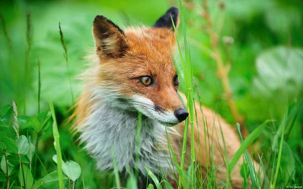 Galician red foxes present low levels of toxic metals in their bodies