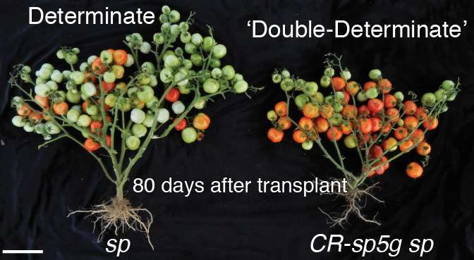 Gene editing yields tomatoes that flower and ripen weeks earlier