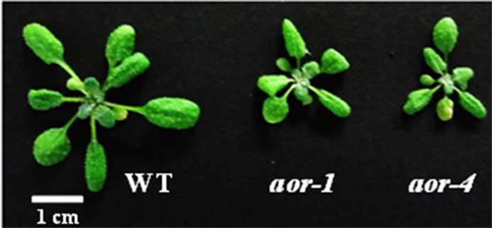 """Gene protects against toxic byproducts of photosynthesis, helping plants to """"breathe"""""""