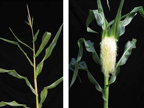 Gene that determines floral sex may be key to new hybrid seeds