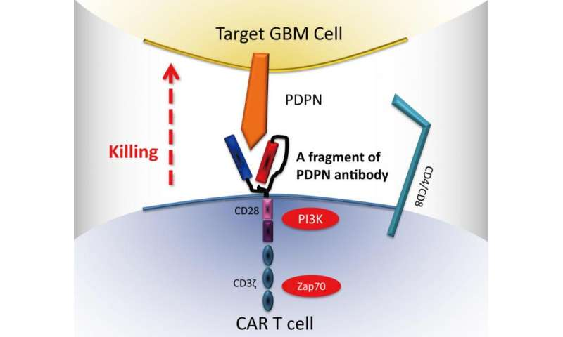 Genetically engineered immune cell therapy found to boost survival in mice with brain tumors