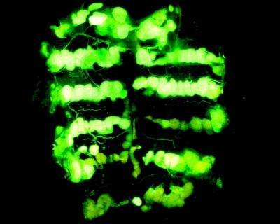 Genetic roots of insect's waterproof coating could lead to innovative pest control