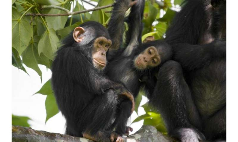 Genetics and brain regions linked to sex differences in anxiety-related behavior in chimpanzees