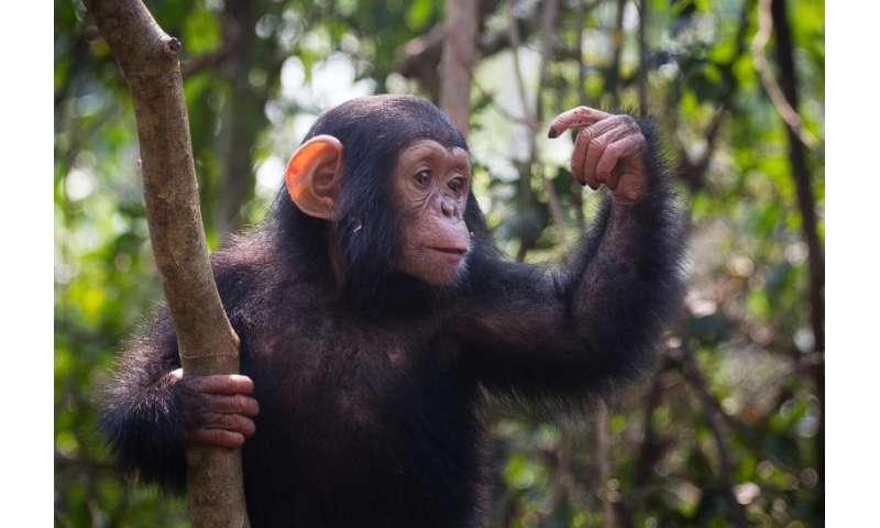 Genomes of chimpanzee parasite species reveal evolution of human malaria