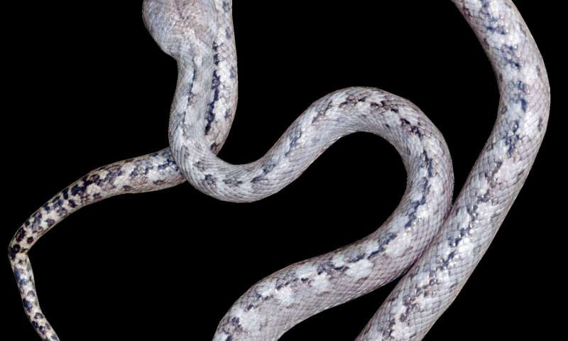 'Ghost snake' discovered in Madagascar
