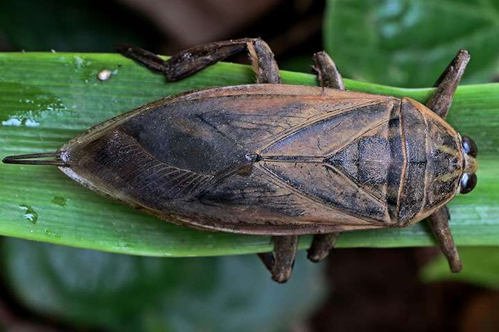 Giant thai insect reveals clues to human heart disease