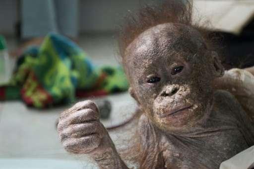 Gito, a baby orangutan, receives treatment following his rescue