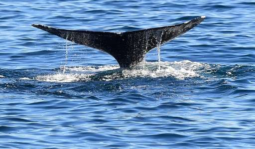 Gray whalese faced a host of deadly threats, from underwater noise to collisions with ships and entanglements in fishing gear, a