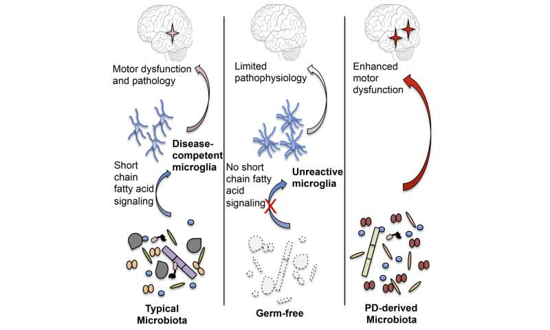 Gut microbes promote motor deficits in a mouse model of Parkinson's disease