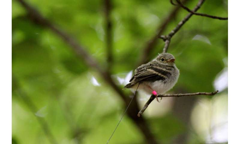 Habitat needs of nestling and fledgling songbirds