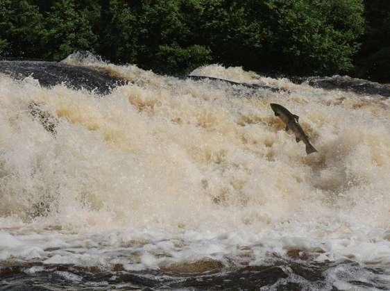 Happy salmon swim better