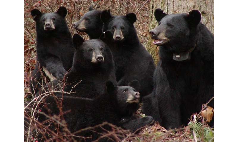 Harvest of nuisance black bears in New Jersey reducing human-bear conflicts