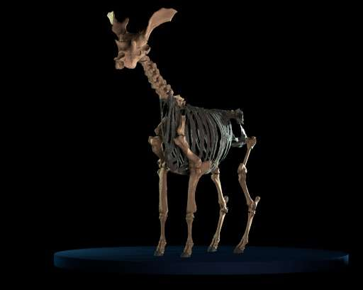 he reconstruction of a skeleton of an extinct giraffe-like animal, assumed to be the biggest ruminant mammal ever