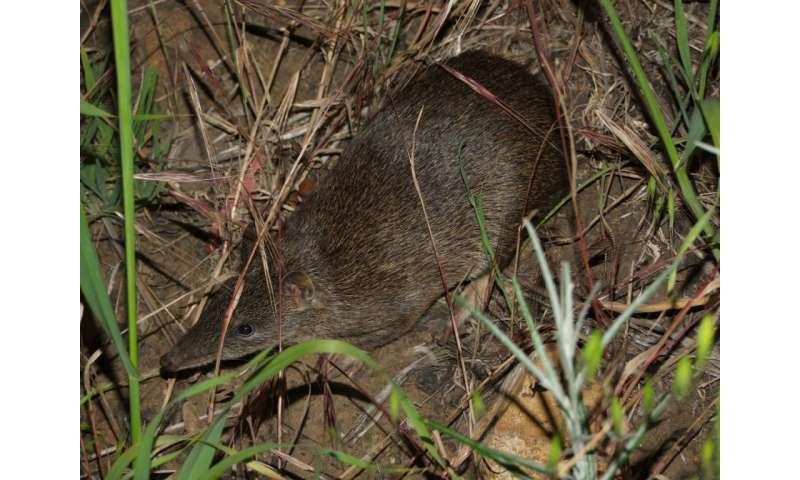 Historical coexistence with dingoes may explain bandicoot avoidance of domestic dogs