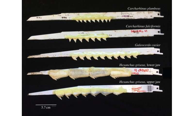 How do shark teeth bite? Reciprocating saw, glue provide answers