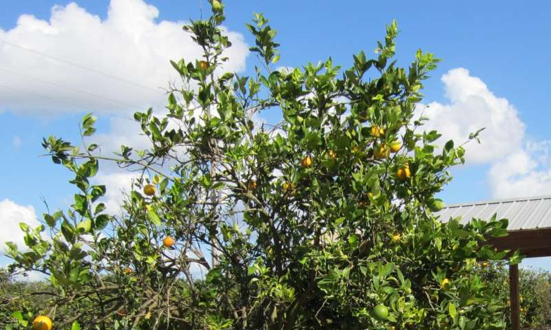 How huanglongbing affects oranges' detachment force, fruit properties
