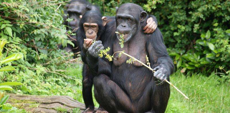 How other primates self-medicate – and what they could teach us