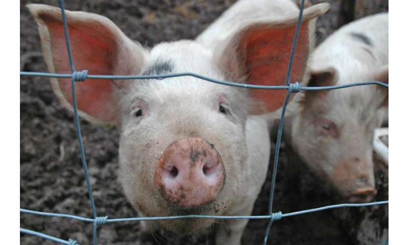 How pigs are helping researchers tackle antibiotic resistance