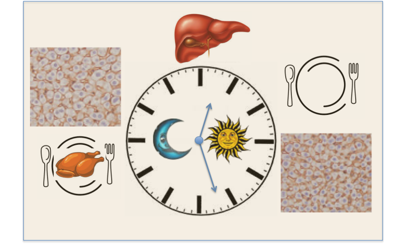How the liver dances to a day/night rhythm