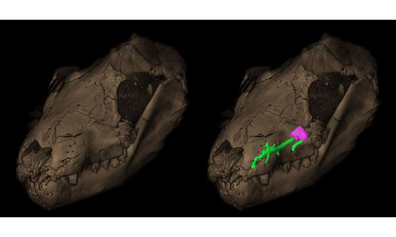 How the mouse outlived the giant