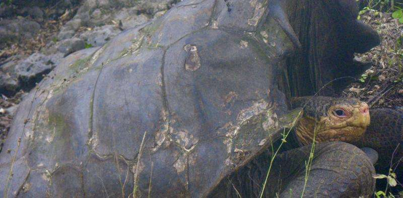 How we rediscovered 'extinct' giant tortoises in the Galápagos Islands – and how to save them