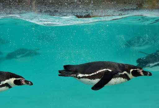Humboldt penguins pictured during the annual animal stocktake at London Zoo on January 4, 2016