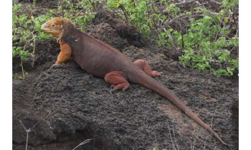 Iguanas partner with the plants of the Galápagos Islands