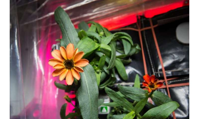 Image: First flower grown in space station's veggie facility