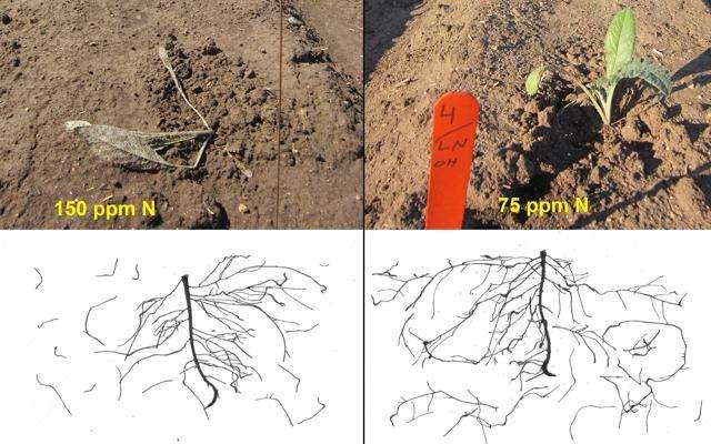 Improving artichoke root development, transplant quality