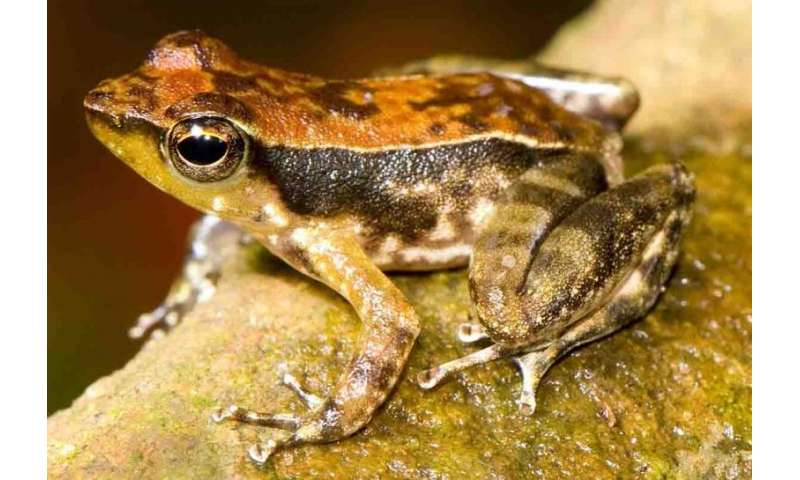 Indian dancing frog's secretive tadpoles unearthed from sand beds