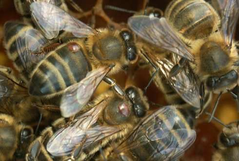 Insecticide increases effect of varroa mite