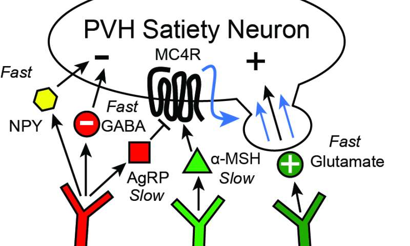 Insight into the brain's control of hunger and satiety