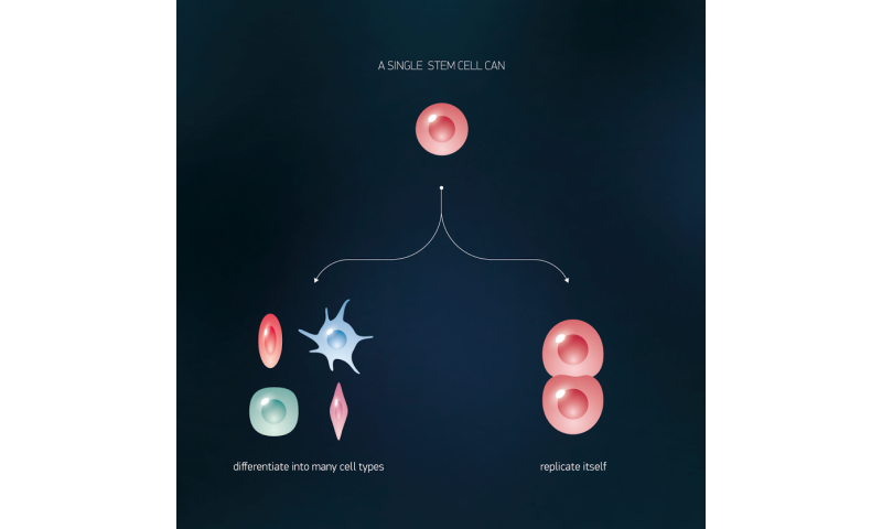 Suggest adult stem cells versus embryonic confirm. join