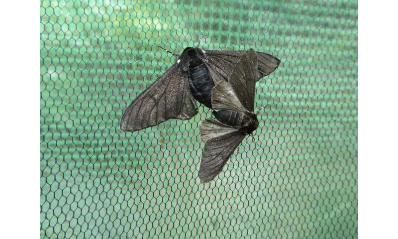 'Jumping gene' took peppered moths to the dark side