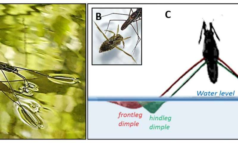 Jumping water striders know how to avoid breaking of the water surface