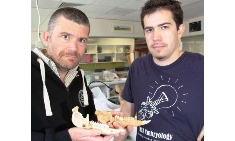 Kangaroos chew over evolutionary theory