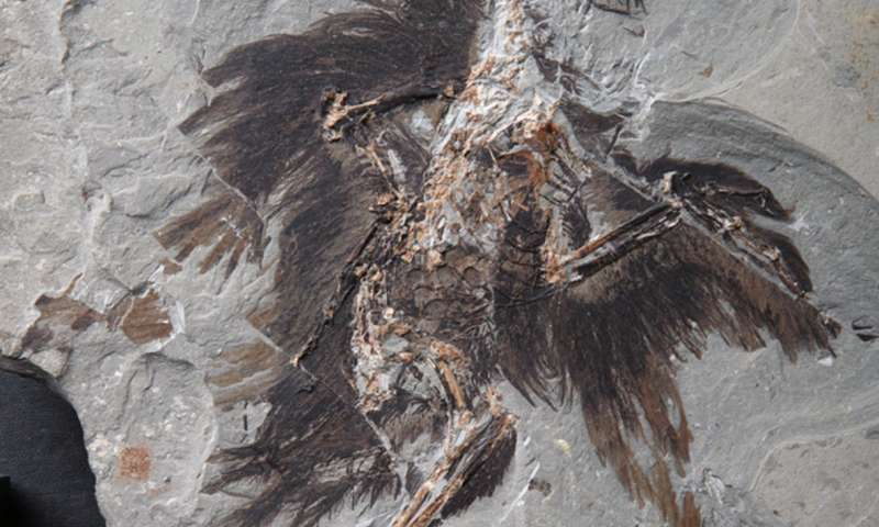 Keratin and melanosomes preserved in 130-million-year-old bird fossil