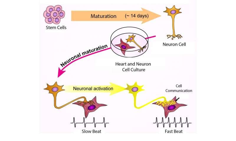 Lab-grown nerve cells make heart cells throb