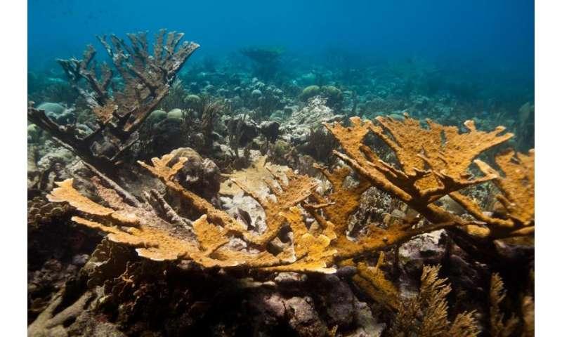 Laboratory-bred corals reproduce in the wild